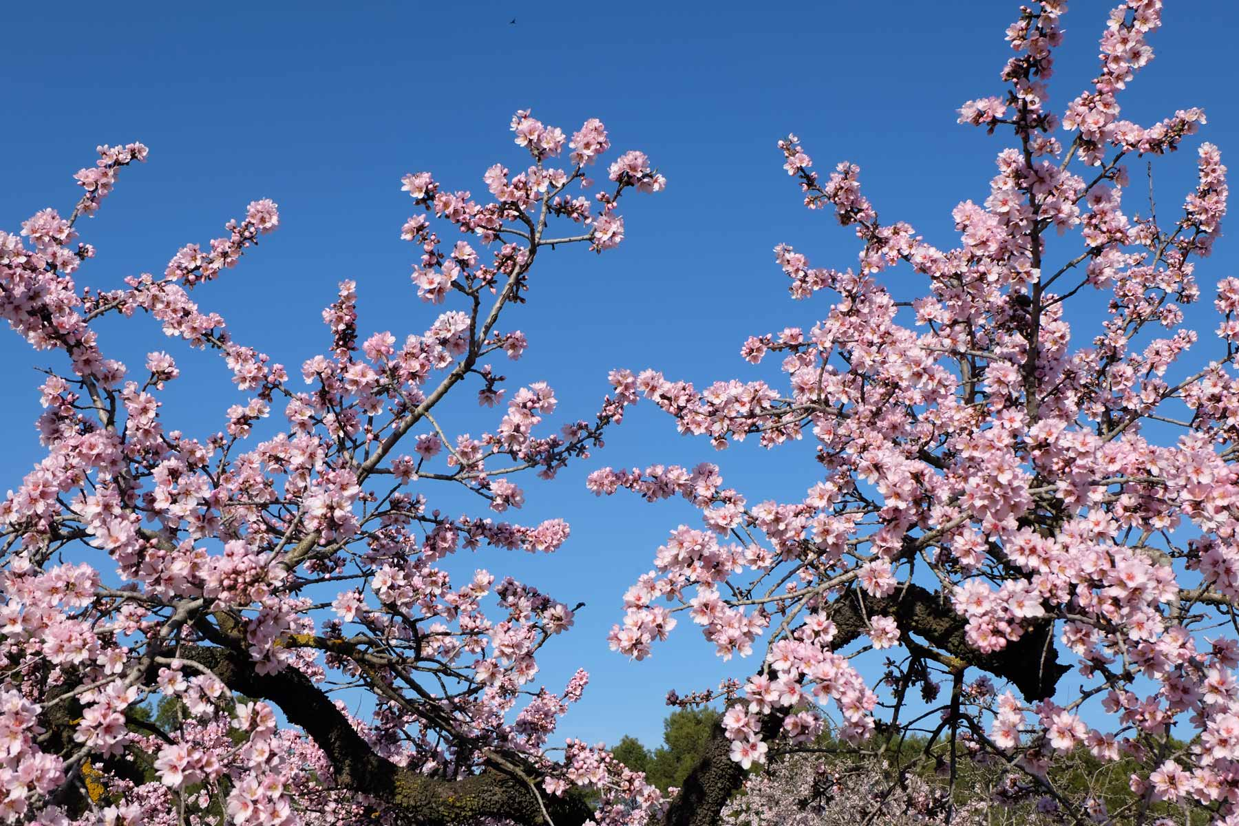 Pink flowers blossoming in the almond trees!