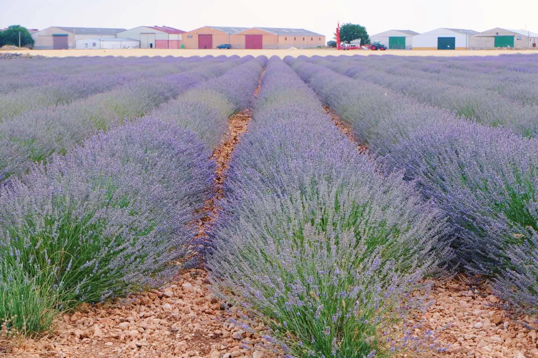 Pequeña plantación frente a la destilería Jardín de la Alcarria.