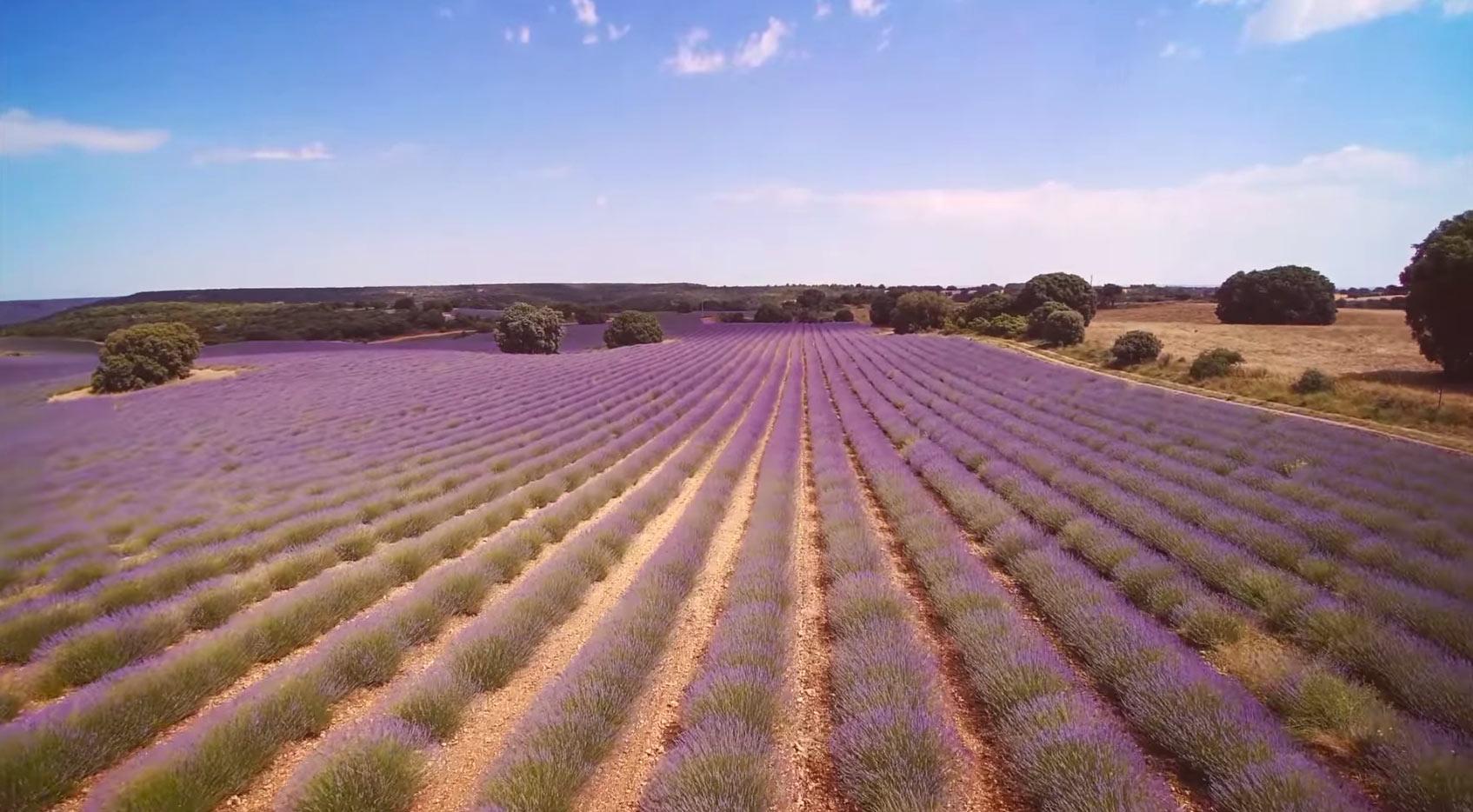 Plantaciones de lavanda. imagen vía Ayuntamiento de Brihuega.