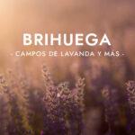 Brihuega: Campos de lavanda / Lavender fields & more